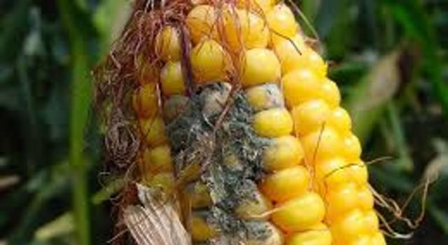 Mycotoxin on maize