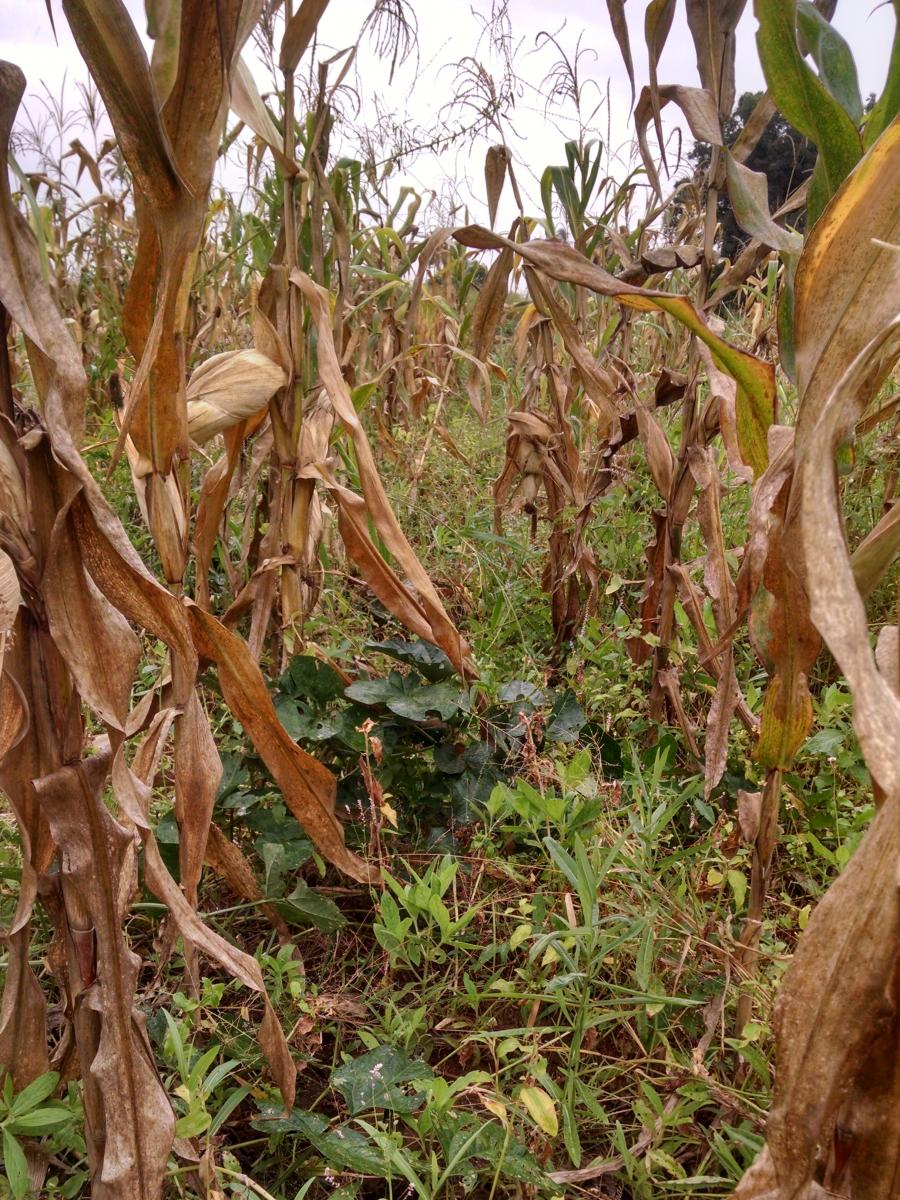 Maize and Legume Intercrop in Morogoro